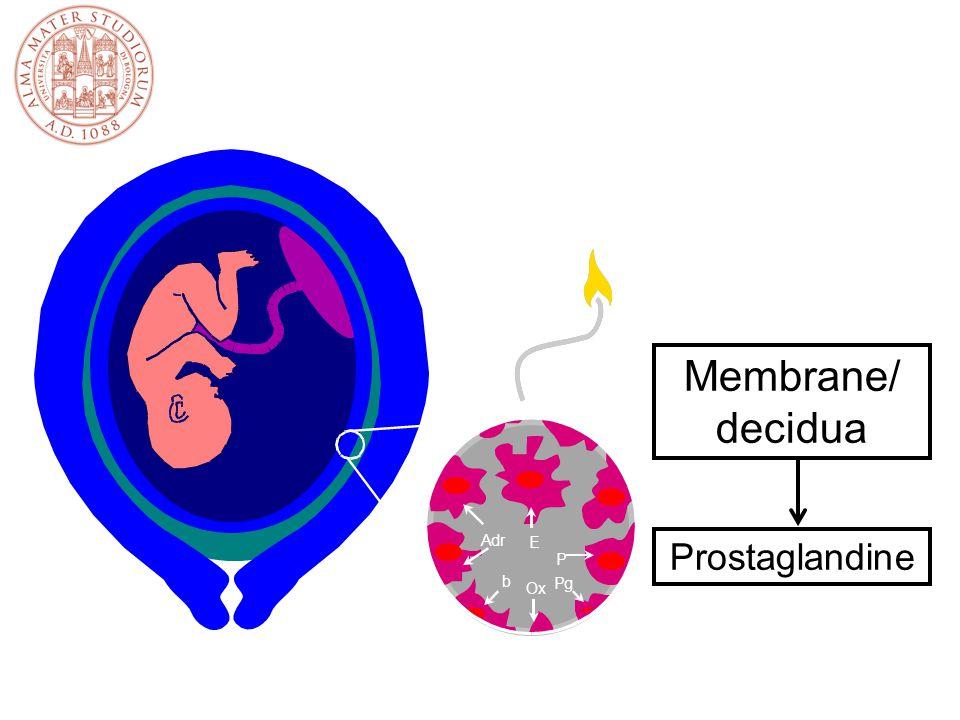 Membrane/ decidua Prostaglandine E A d r b P g O x