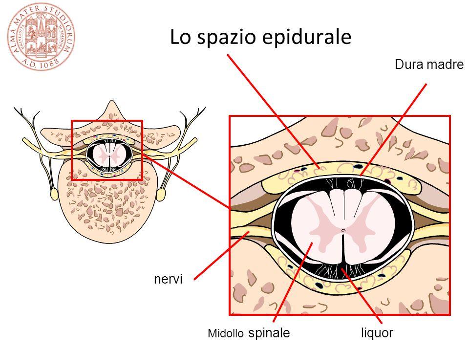 Lo spazio epidurale Dura madre nervi Midollo spinale liquor