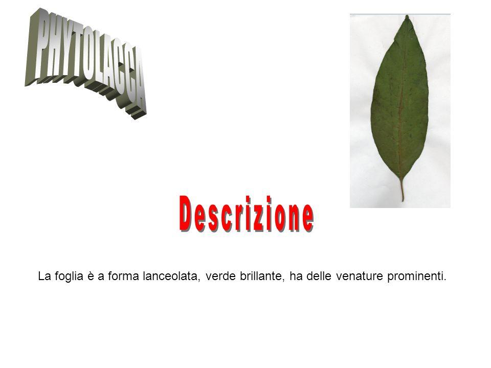 PHYTOLACCA Descrizione