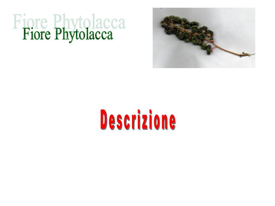 Fiore Phytolacca Descrizione