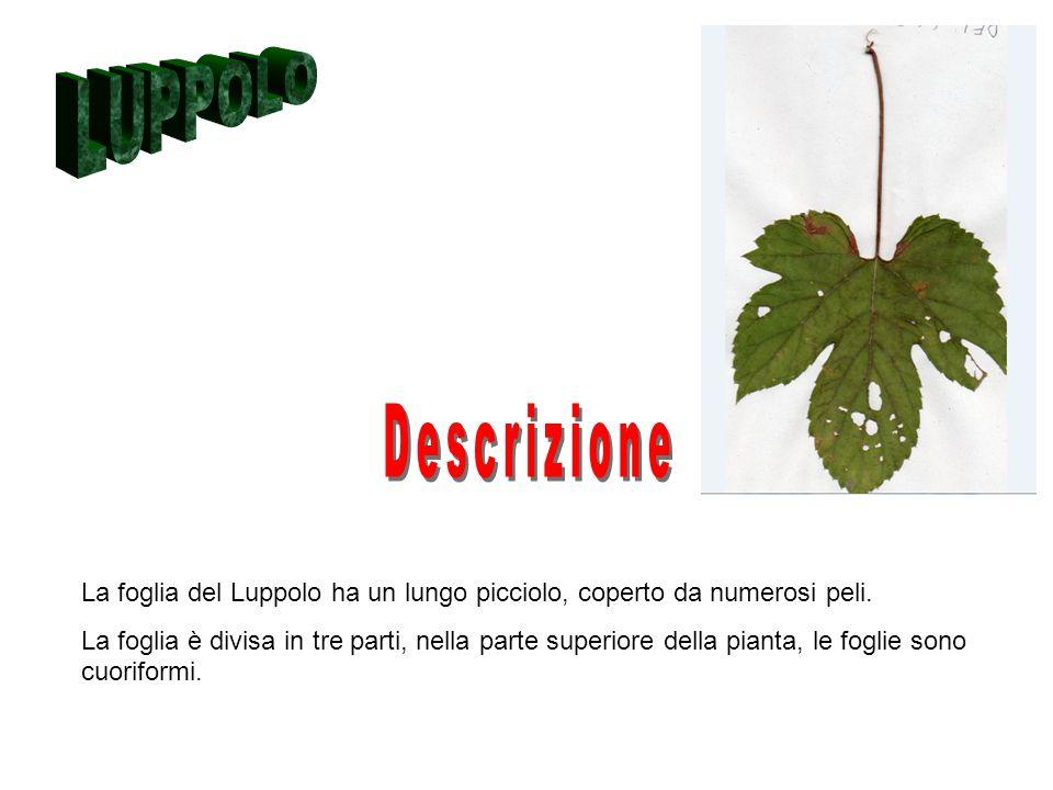 LUPPOLO Descrizione. La foglia del Luppolo ha un lungo picciolo, coperto da numerosi peli.