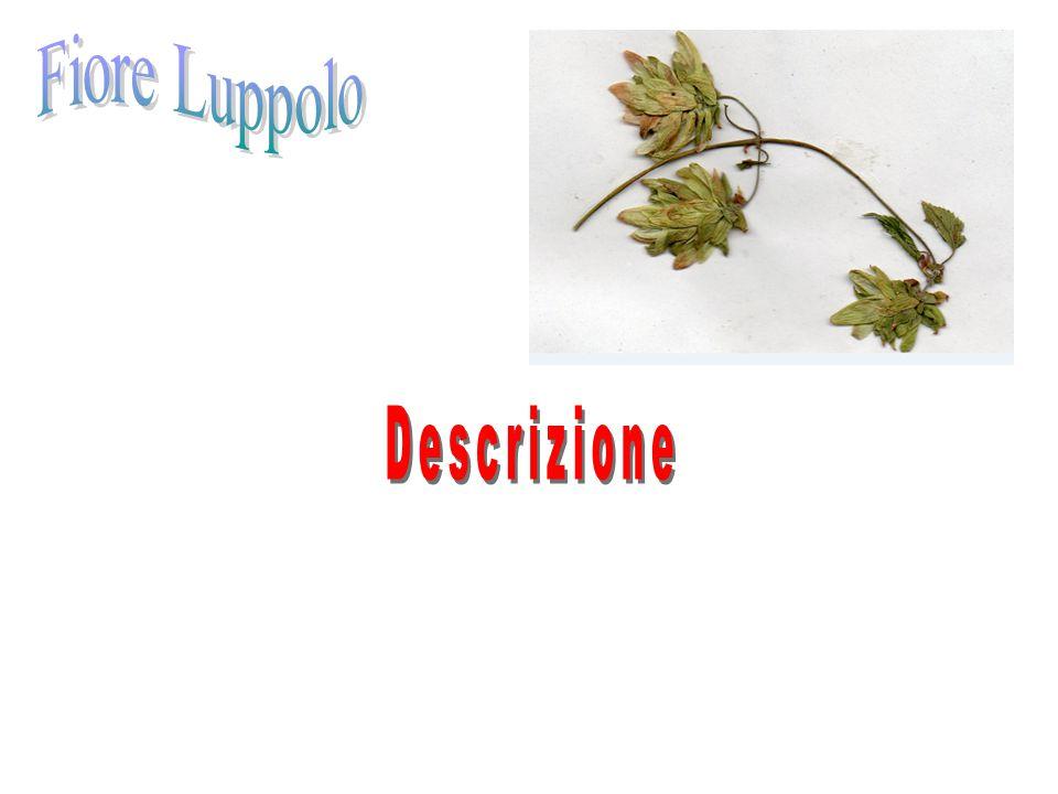 Fiore Luppolo Descrizione