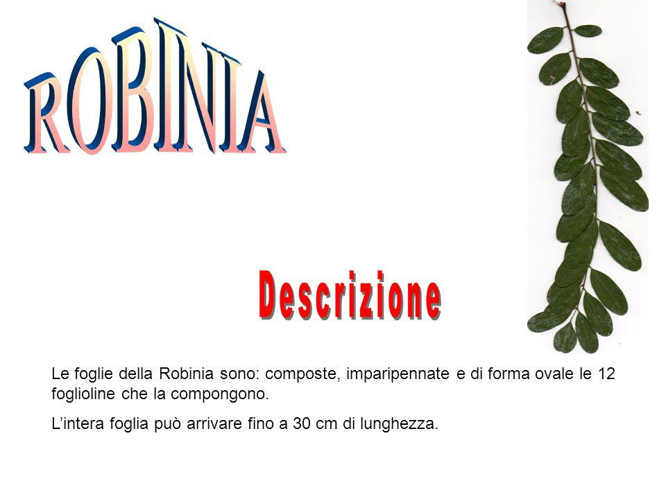 ROBINIA Descrizione. Le foglie della Robinia sono: composte, imparipennate e di forma ovale le 12 foglioline che la compongono.