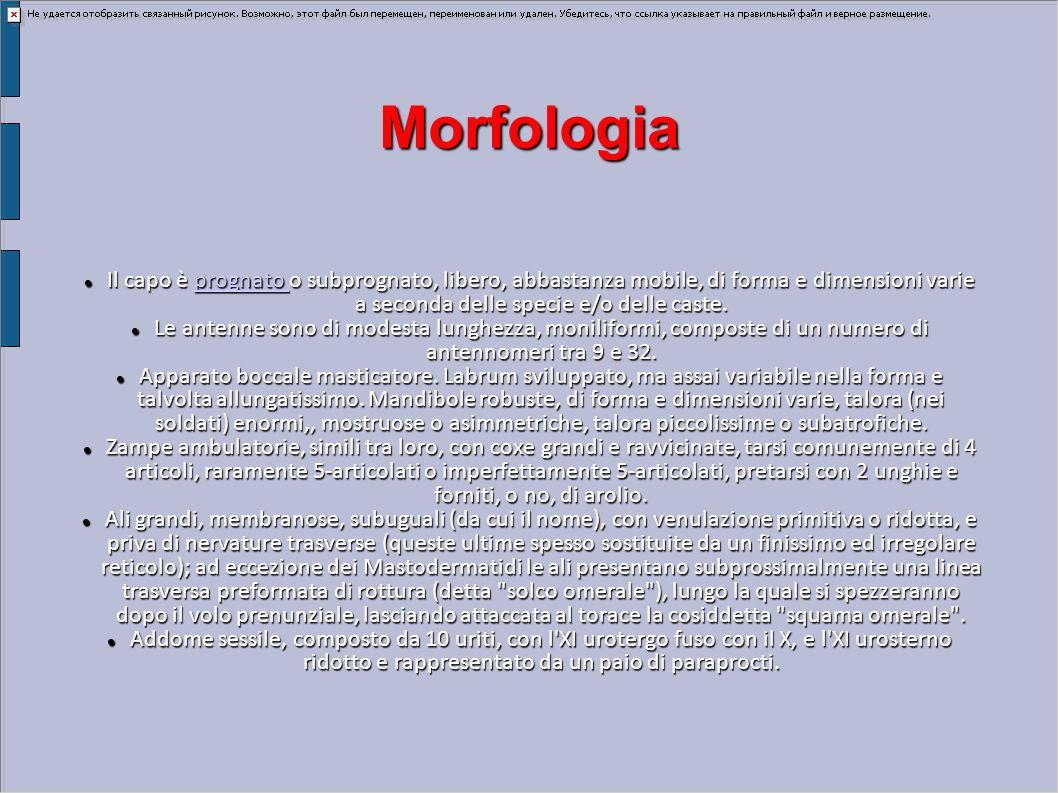 Morfologia Il capo è prognato o subprognato, libero, abbastanza mobile, di forma e dimensioni varie a seconda delle specie e/o delle caste.