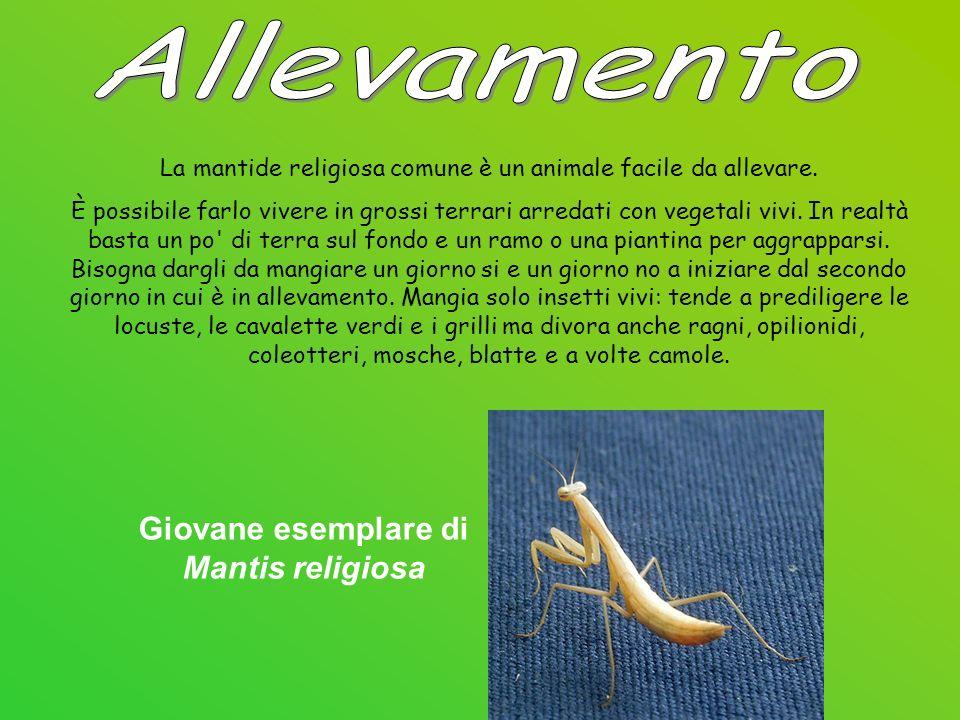 Allevamento Giovane esemplare di Mantis religiosa