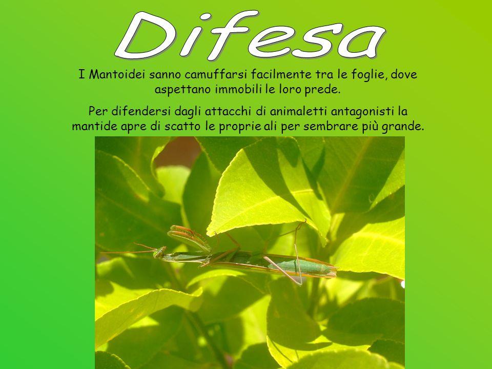 Difesa I Mantoidei sanno camuffarsi facilmente tra le foglie, dove aspettano immobili le loro prede.