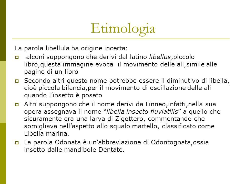 Etimologia La parola libellula ha origine incerta: