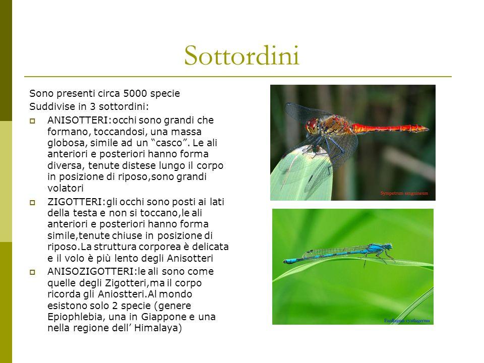 Sottordini Sono presenti circa 5000 specie Suddivise in 3 sottordini: