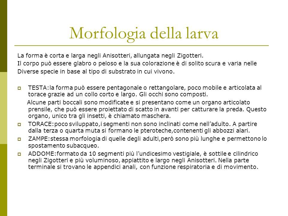 Morfologia della larva