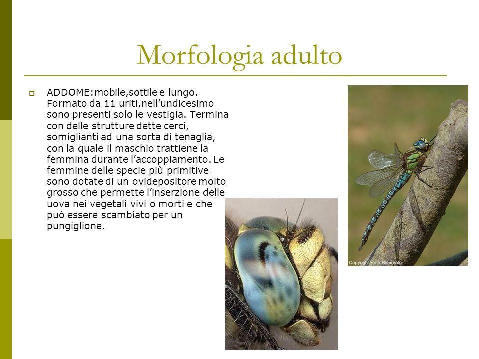 Morfologia adulto