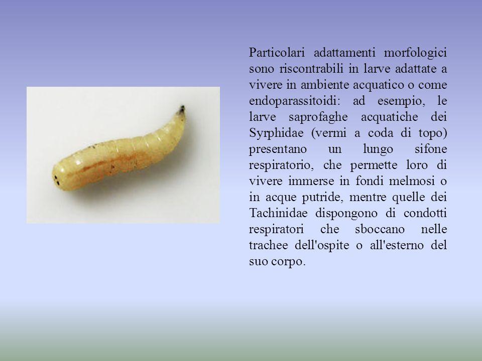 Particolari adattamenti morfologici sono riscontrabili in larve adattate a vivere in ambiente acquatico o come endoparassitoidi: ad esempio, le larve saprofaghe acquatiche dei Syrphidae (vermi a coda di topo) presentano un lungo sifone respiratorio, che permette loro di vivere immerse in fondi melmosi o in acque putride, mentre quelle dei Tachinidae dispongono di condotti respiratori che sboccano nelle trachee dell ospite o all esterno del suo corpo.