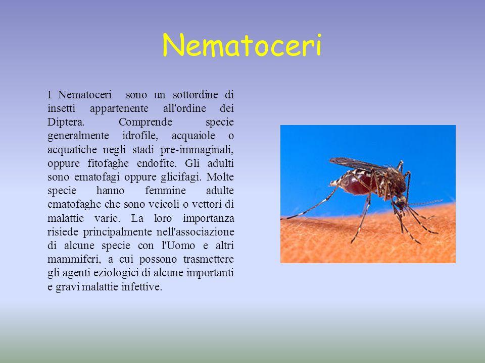 Nematoceri