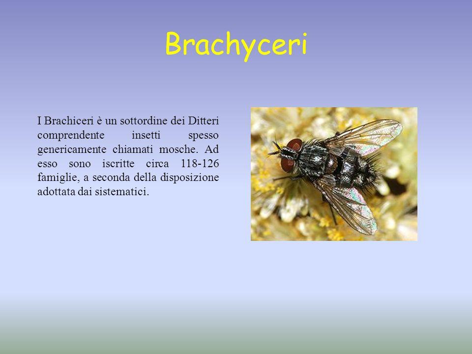 Brachyceri