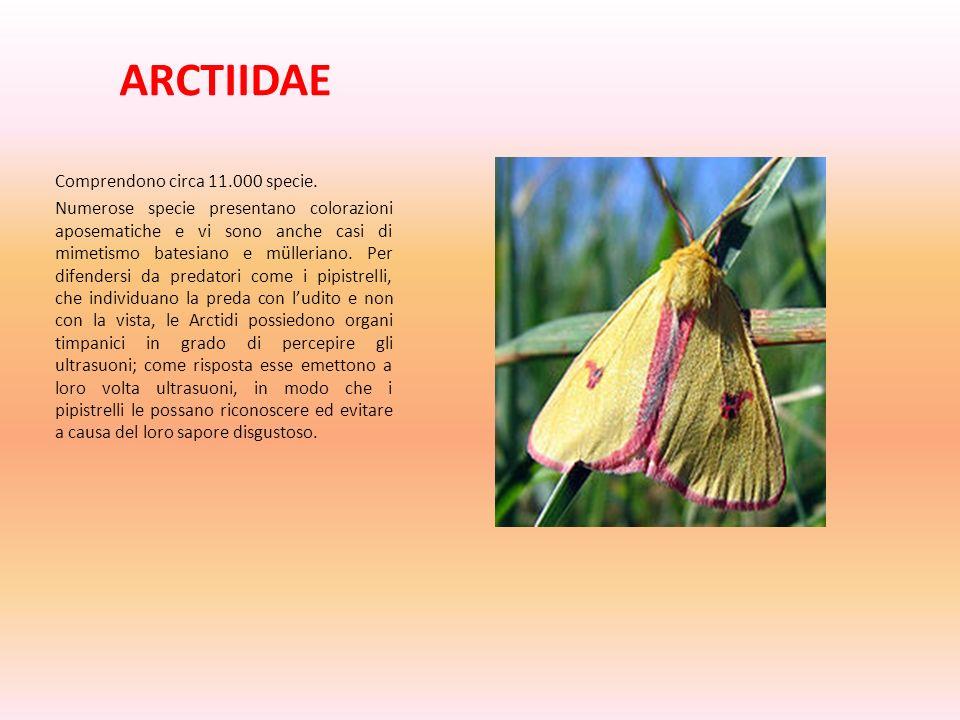 ARCTIIDAE Comprendono circa 11.000 specie.