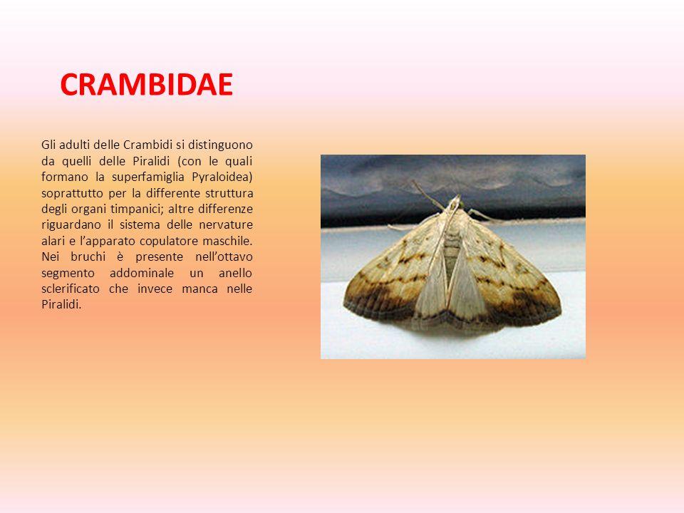 CRAMBIDAE