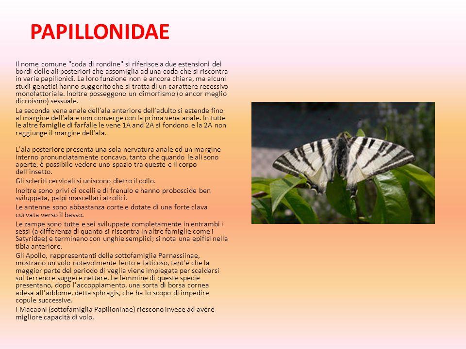 PAPILLONIDAE