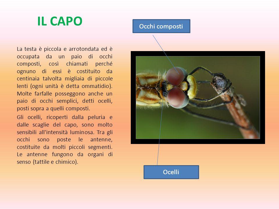 IL CAPO Occhi composti Ocelli