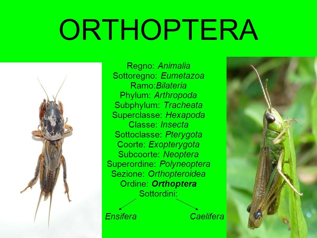 ORTHOPTERA Regno: Animalia Sottoregno: Eumetazoa Ramo:Bilateria