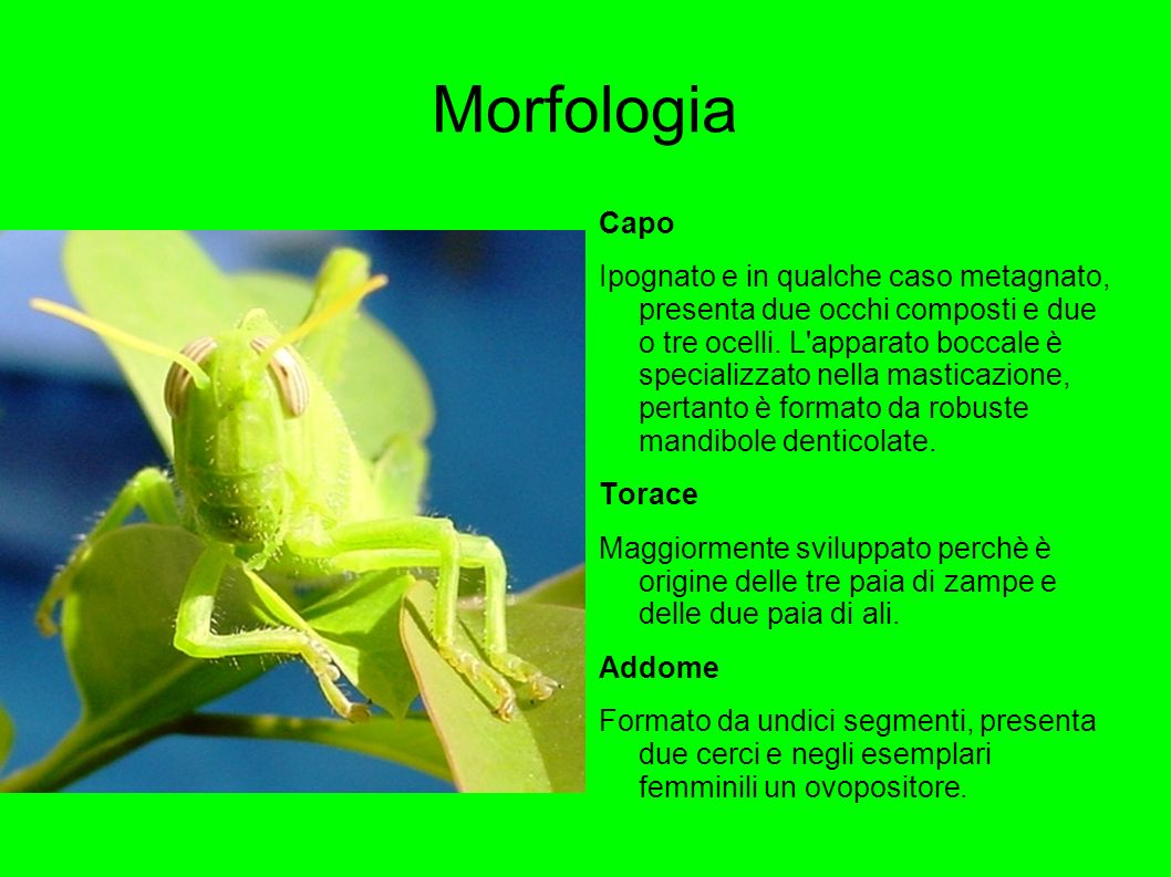 Morfologia Capo.