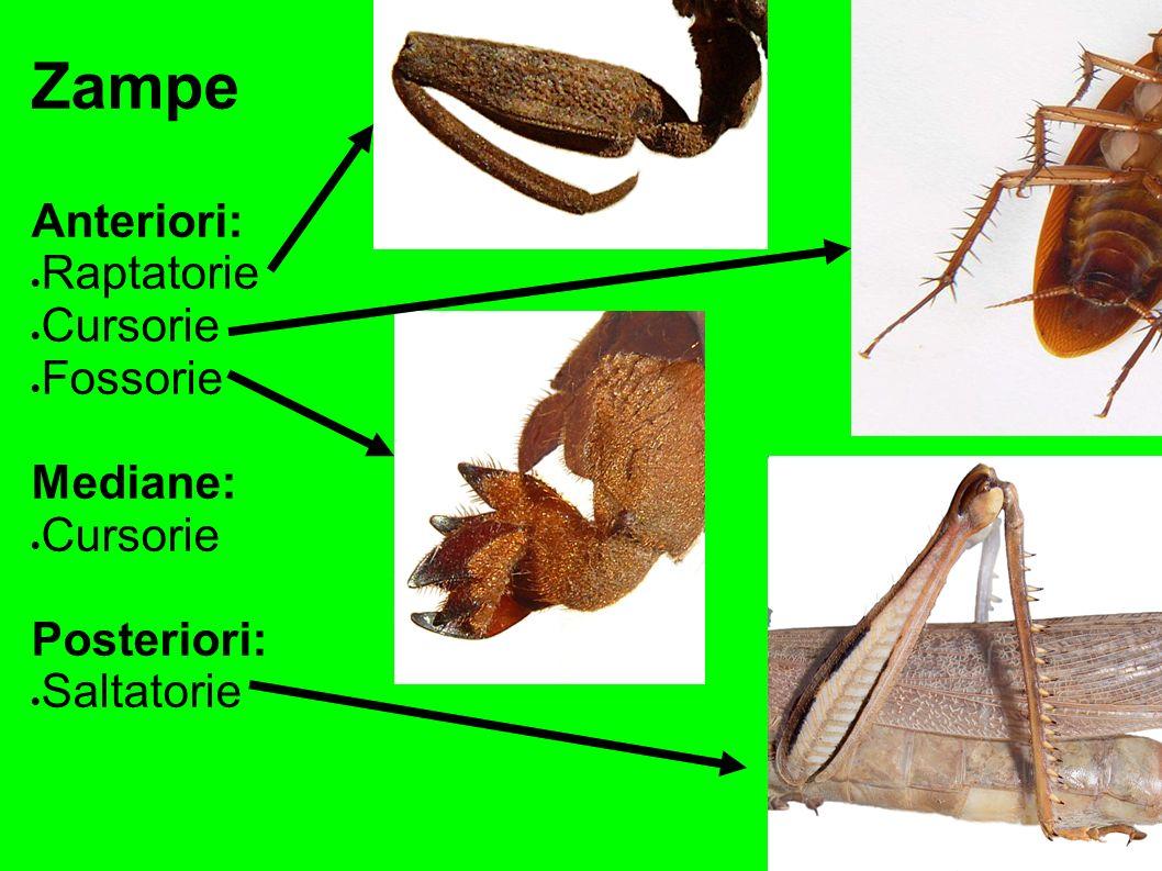 Zampe Anteriori: Raptatorie Cursorie Fossorie Mediane: Posteriori: