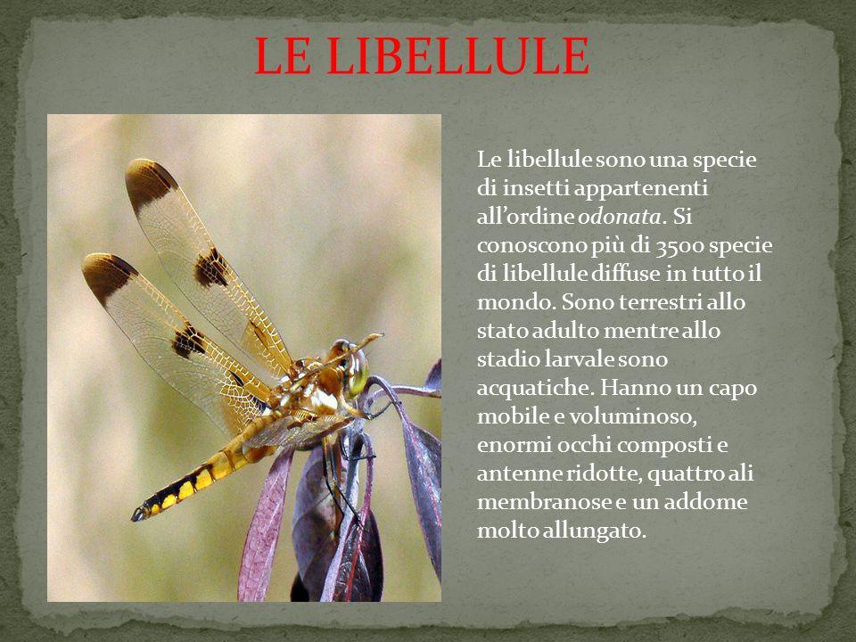 LE LIBELLULE
