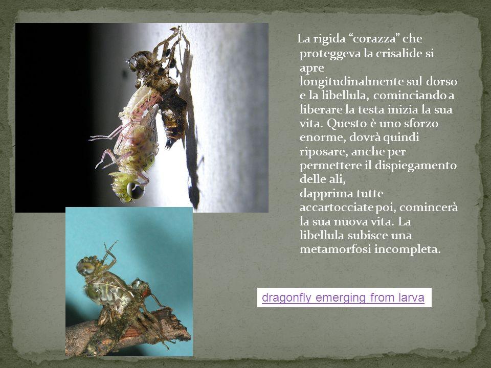 La rigida corazza che proteggeva la crisalide si apre longitudinalmente sul dorso e la libellula, cominciando a liberare la testa inizia la sua vita. Questo è uno sforzo enorme, dovrà quindi riposare, anche per permettere il dispiegamento delle ali, dapprima tutte accartocciate poi, comincerà la sua nuova vita. La libellula subisce una metamorfosi incompleta.