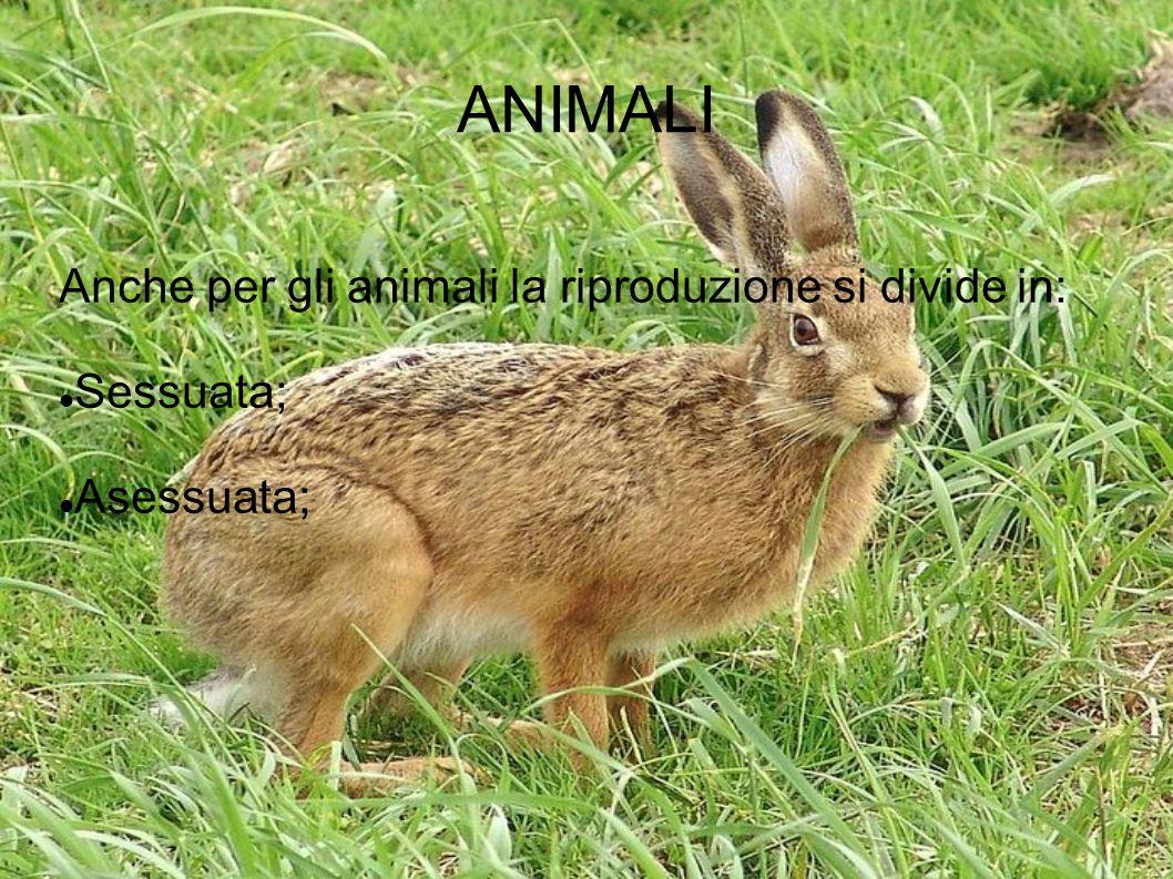 ANIMALI Anche per gli animali la riproduzione si divide in: Sessuata;