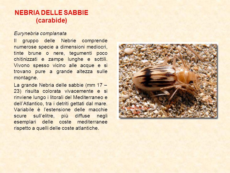 NEBRIA DELLE SABBIE (carabide)