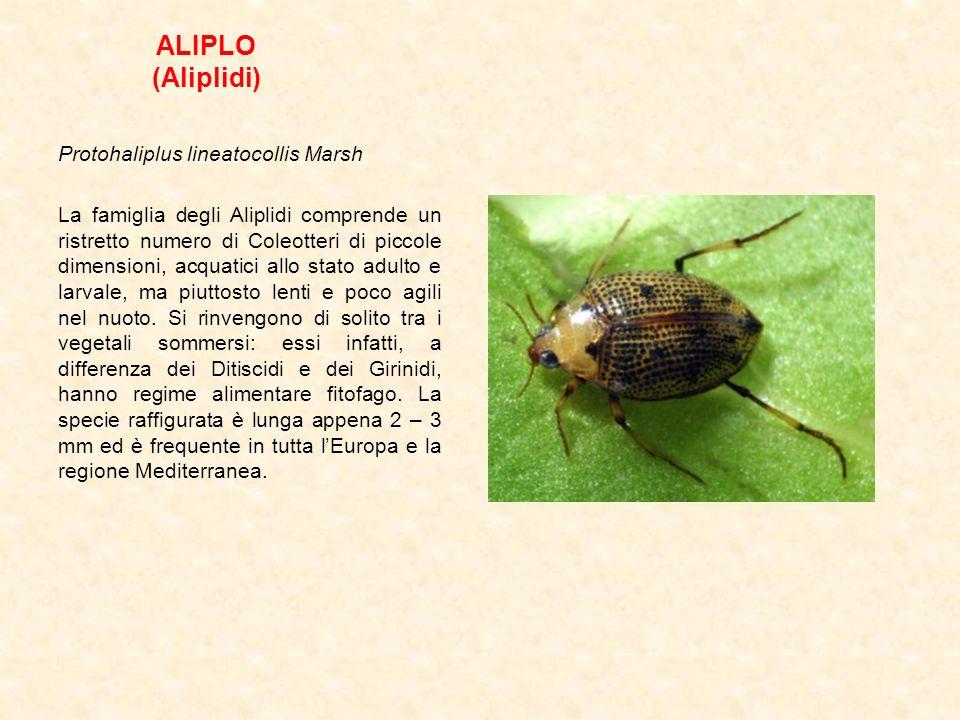 ALIPLO (Aliplidi) Protohaliplus lineatocollis Marsh