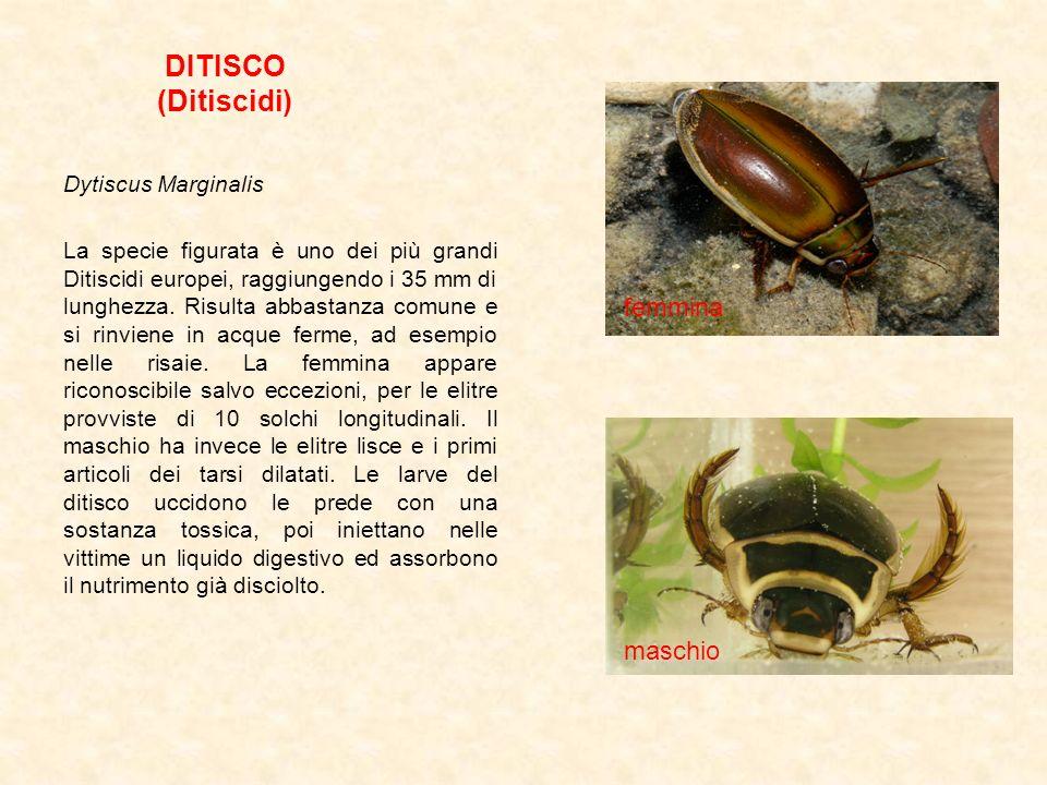 DITISCO (Ditiscidi) femmina maschio Dytiscus Marginalis