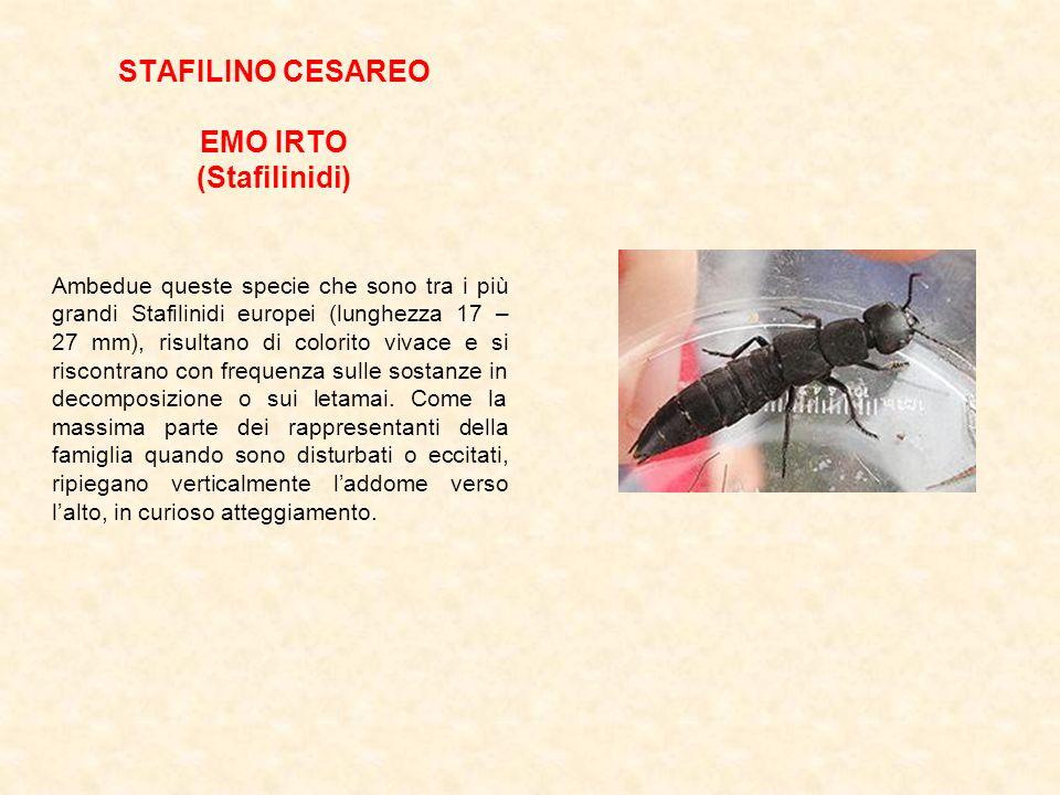 STAFILINO CESAREO EMO IRTO (Stafilinidi)