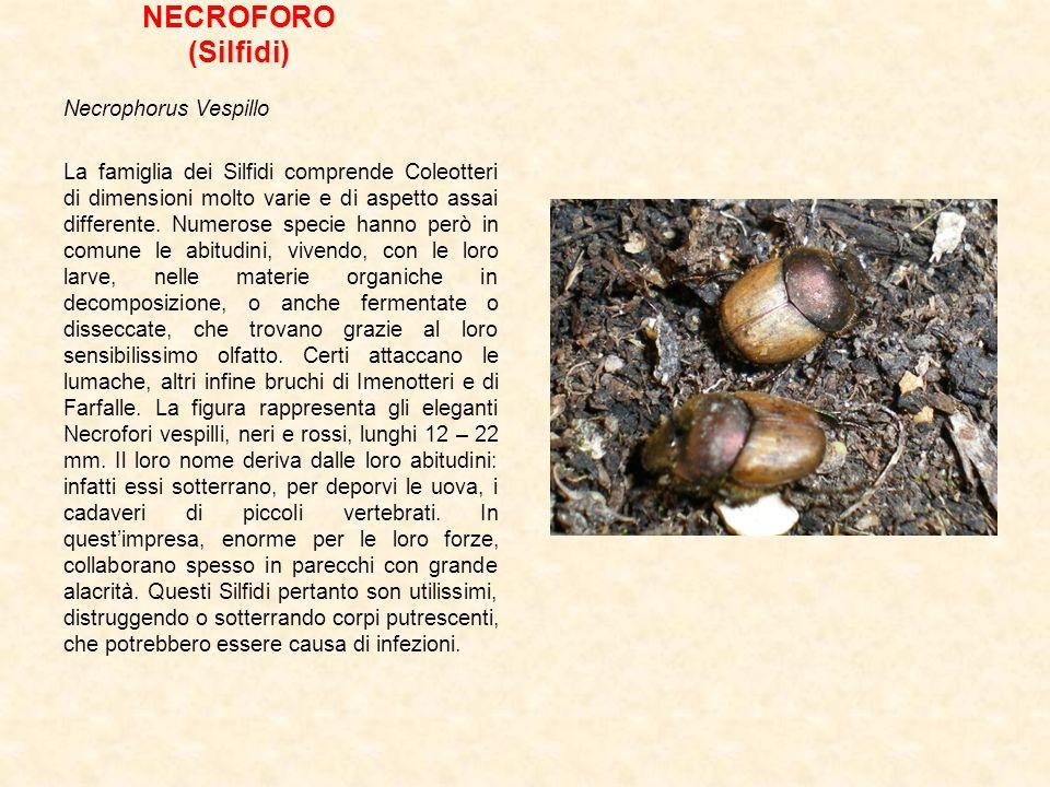 NECROFORO (Silfidi) Necrophorus Vespillo