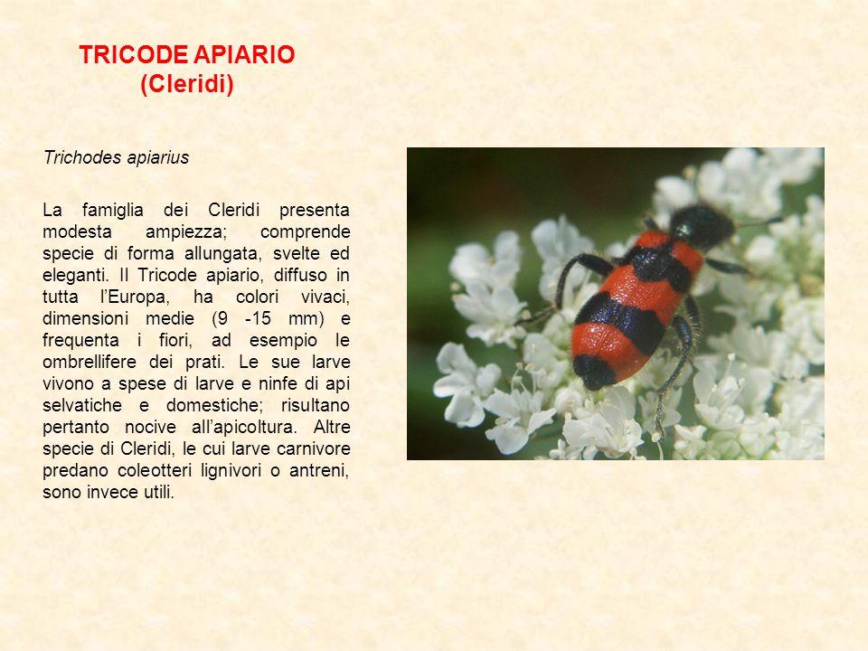 TRICODE APIARIO (Cleridi)
