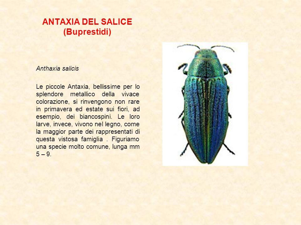 ANTAXIA DEL SALICE (Buprestidi)