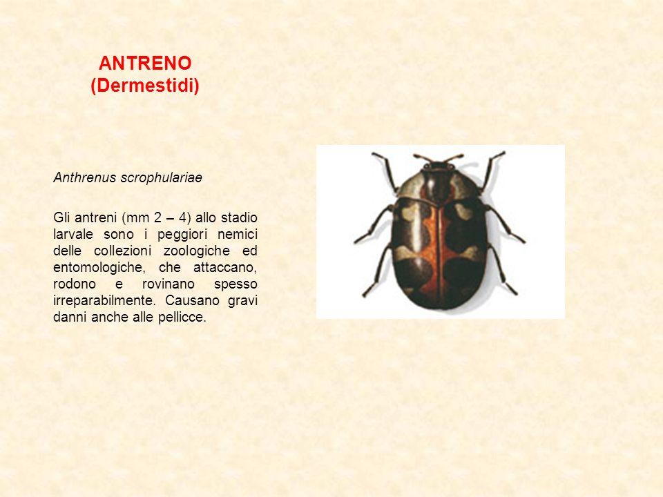 ANTRENO (Dermestidi) Anthrenus scrophulariae