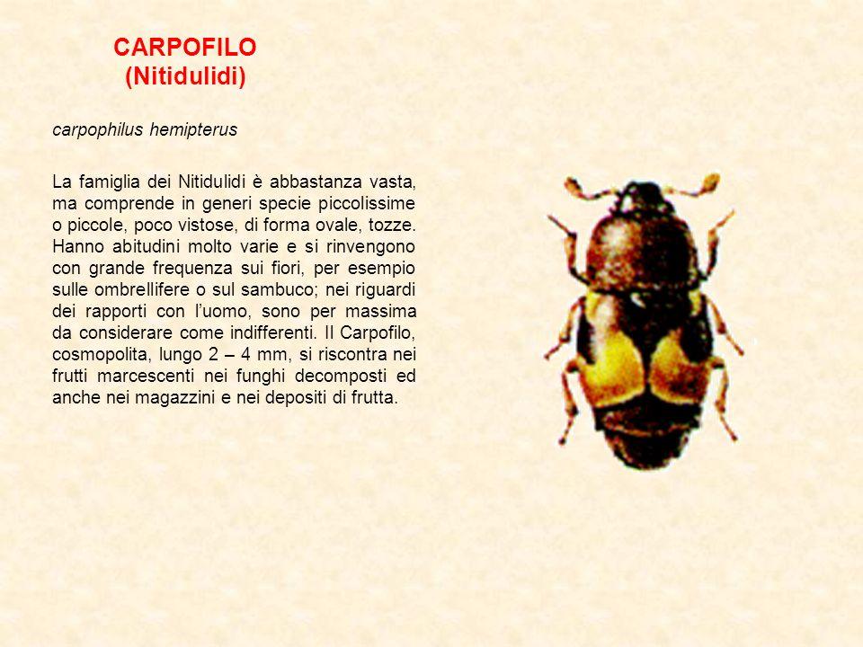 CARPOFILO (Nitidulidi)