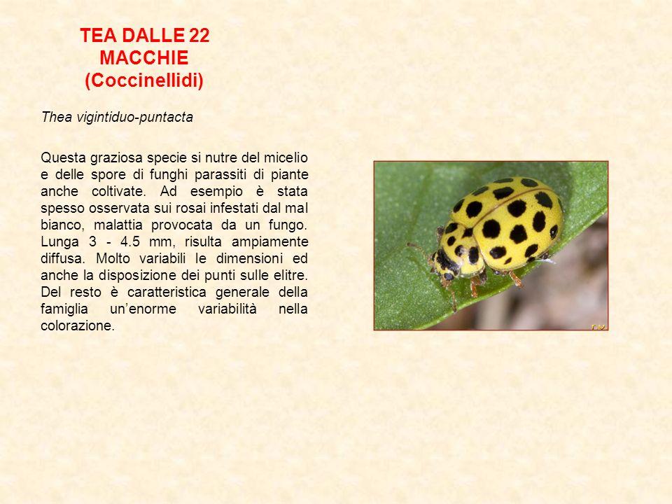 TEA DALLE 22 MACCHIE (Coccinellidi)