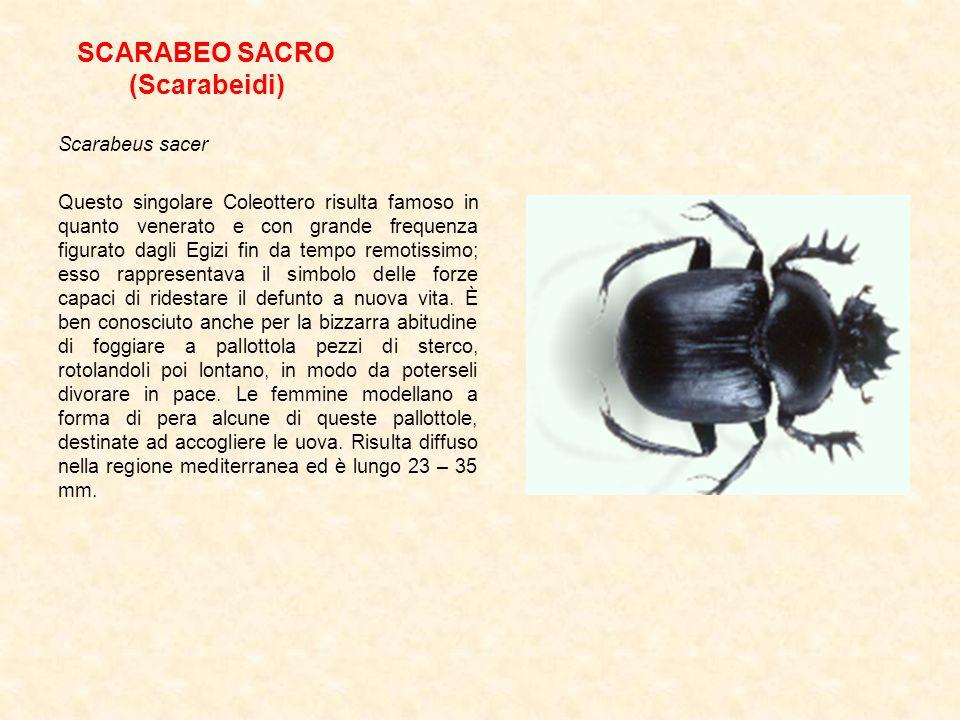 SCARABEO SACRO (Scarabeidi)