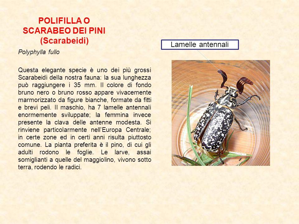 POLIFILLA O SCARABEO DEI PINI (Scarabeidi)