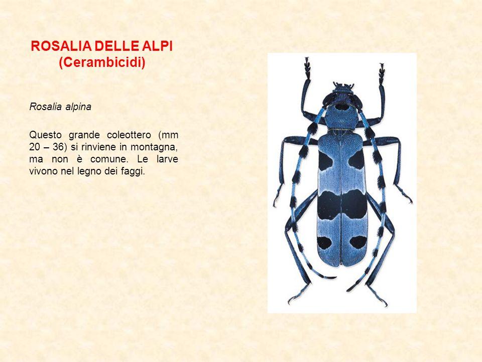 ROSALIA DELLE ALPI (Cerambicidi)