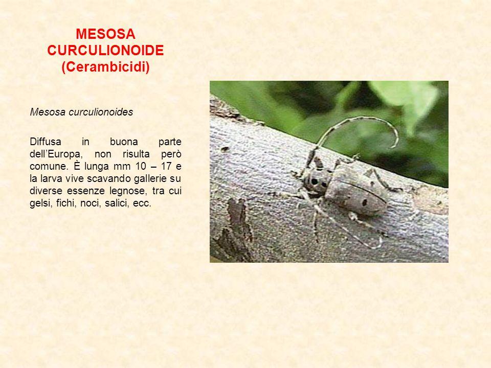 MESOSA CURCULIONOIDE (Cerambicidi)