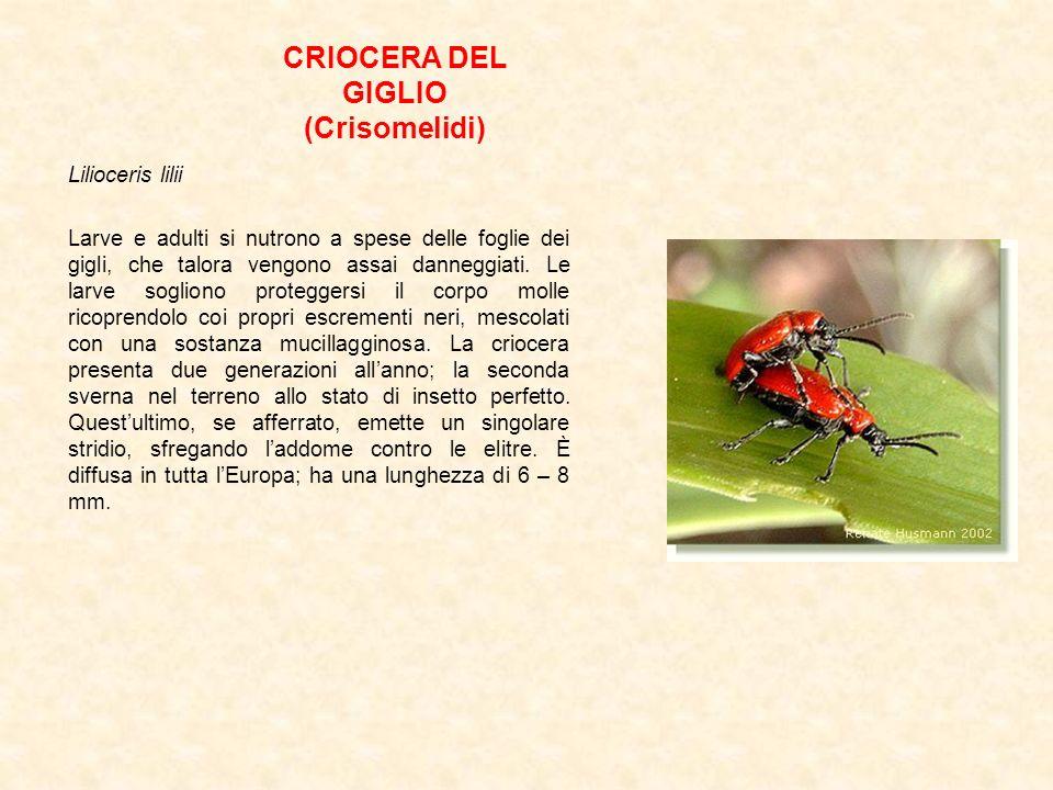 CRIOCERA DEL GIGLIO (Crisomelidi)