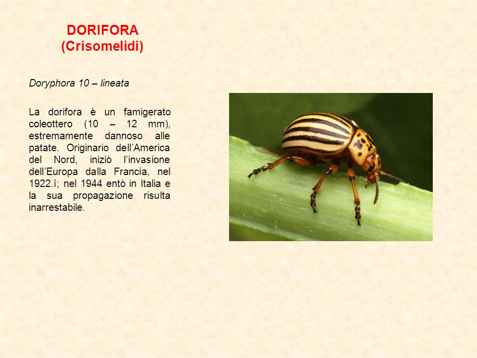 DORIFORA (Crisomelidi)