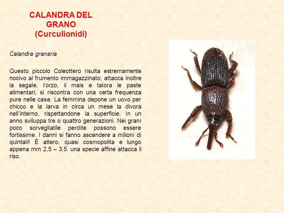 CALANDRA DEL GRANO (Curculionidi)