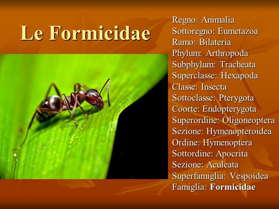 Le Formicidae Regno: Animalia Sottoregno: Eumetazoa Ramo: Bilateria