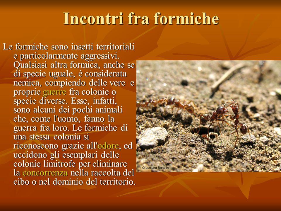Incontri fra formiche