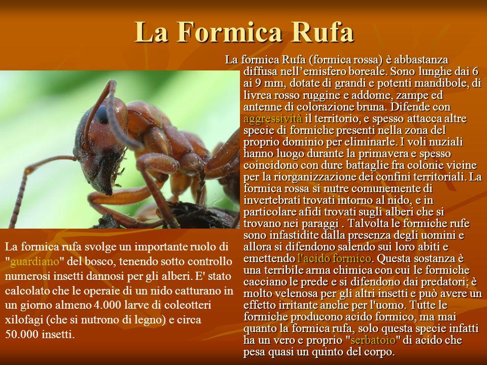 La Formica Rufa