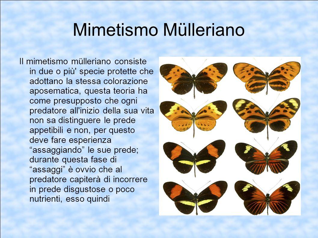 Mimetismo Mülleriano