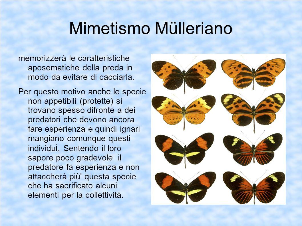 Mimetismo Müllerianomemorizzerà le caratteristiche aposematiche della preda in modo da evitare di cacciarla.