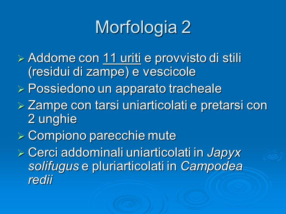 Morfologia 2 Addome con 11 uriti e provvisto di stili (residui di zampe) e vescicole. Possiedono un apparato tracheale.